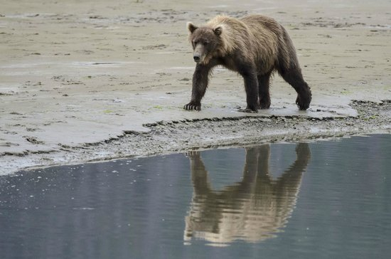 Bear Mountain Lodge: Brown Bear strolling along the beach.