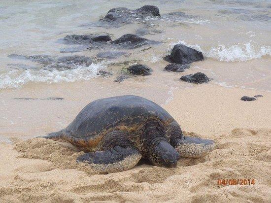 Kauai Russian Tours: Sea turtle on the beach