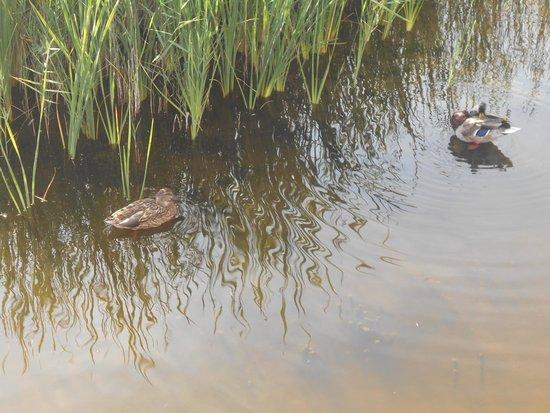 Parque Nacional de las Tablas de Daimiel: Patos