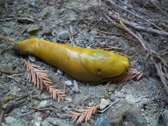 Forest of Nisene Marks State Park: Yellow Banana Slug
