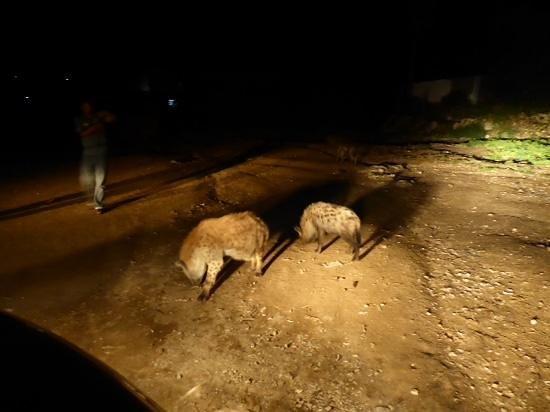 Harar Ras Hotel: hienas at harar