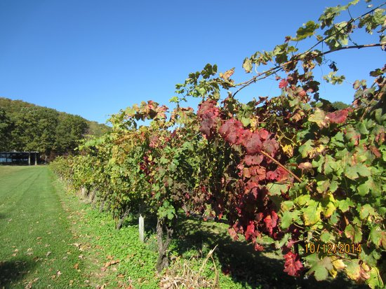 Mount Nittany Vineyard & Winery: Autumn grapevines