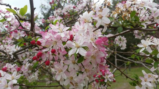 Crabapple Lane Bed and Breakfast: Crabapple blossoms in full bloom...simply stunning!
