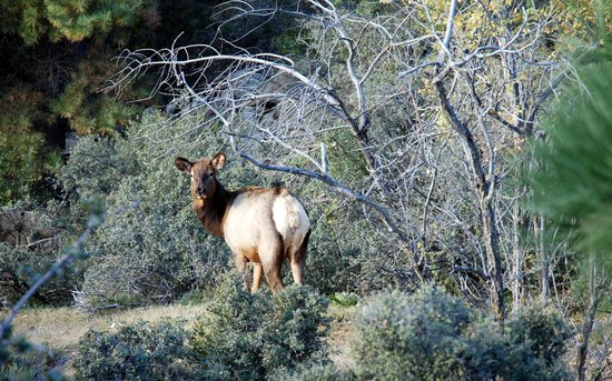 Hualapai Mountain Park : Elk at Hualapai Mt Park