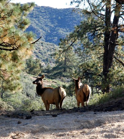 Superior Hualapai Mountain Park: Elk Returning To Meadow