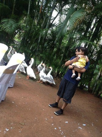 The Windflower Resort & Spa, Mysore : the ducklings