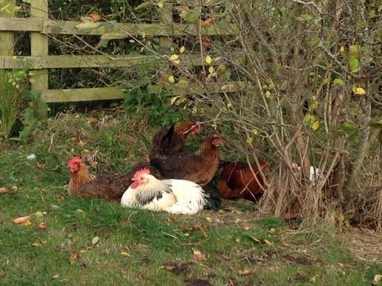 Blackford, UK : the hens