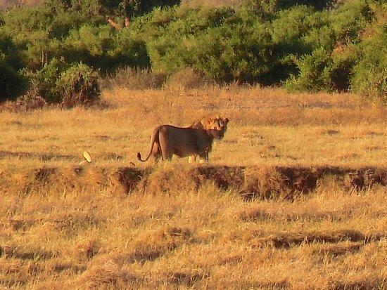 Donamasai Day Tours : Leone e leonessa (distesa a terra) after sex!