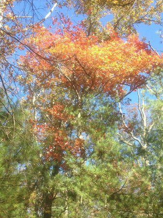 Caledonia State Park: October 19, 2014.  Looking up to fall foliage.