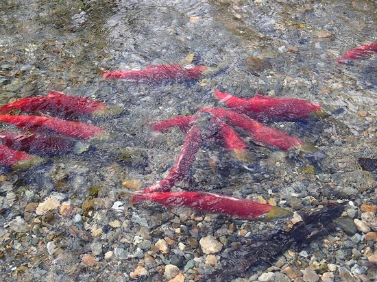 Adams River Salmon Run: Adams River Run