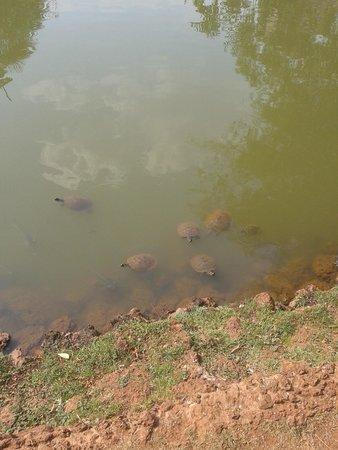 Tartarugas no Bosque dos Buritis