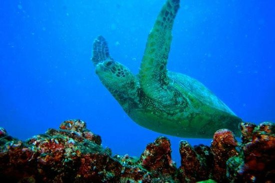 Island Divers Hawaii: Green Turtle in flight on our dive taken by Divemaster Larry Hogan
