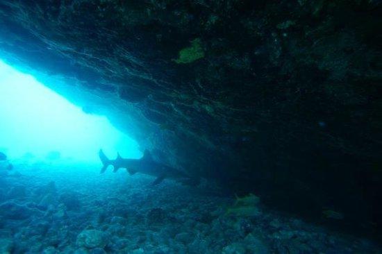 Island Divers Hawaii: Kerryns first shark encounter. Taken by Divemaster Larry Hogan
