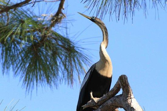 Venice Area Audubon Society : Venice Rookery - Anhinga on nearby tree
