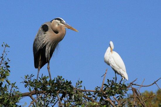 Venice Area Audubon Society : Venice Rookery - Great Blue Heron and Great Egret