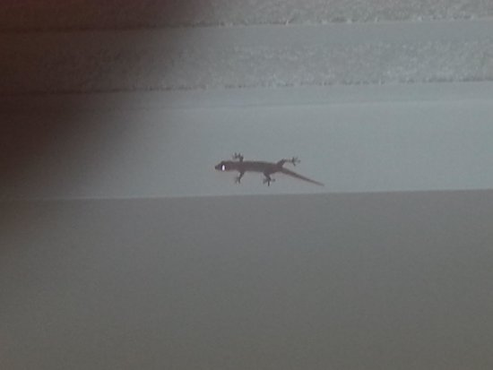 Hotel Casona del Lago: geckos in the roof. removed one and now another apeared.
