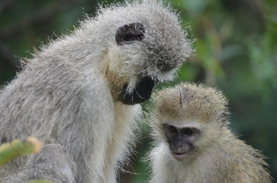 Tzaneen, Zuid-Afrika: Vervet Monkey Foundation, Rehabilitation, Education, Sanctuary