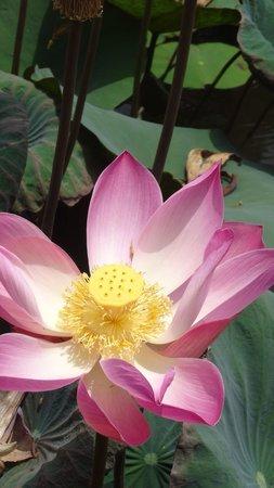 Bali Java Holidays: Bali, lotus cafe pond