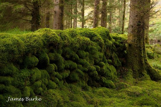 Gougane Barra Park : Moss covered ancient walls in the forest at Gougane Barra