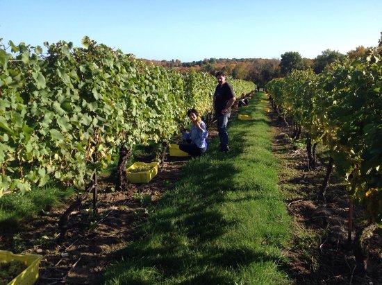 Stonington Vineyards: Picking wow