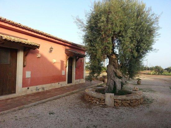 Agriturismo Sant'Elia: Einer der alten knorrigen Olivenbäume