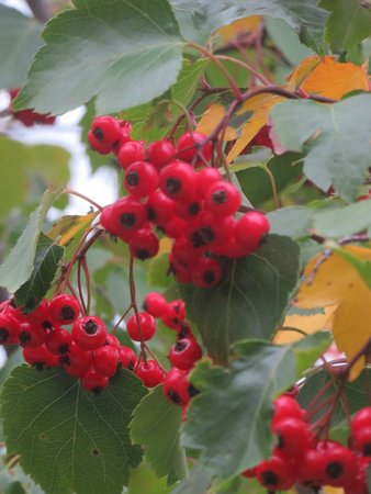 Maumee Bay State Park: Berries on a tree