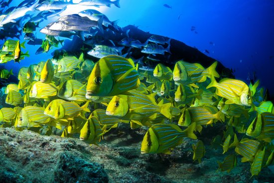 Cabo Pulmo Beach Resort : Shoal of Yellow snappers
