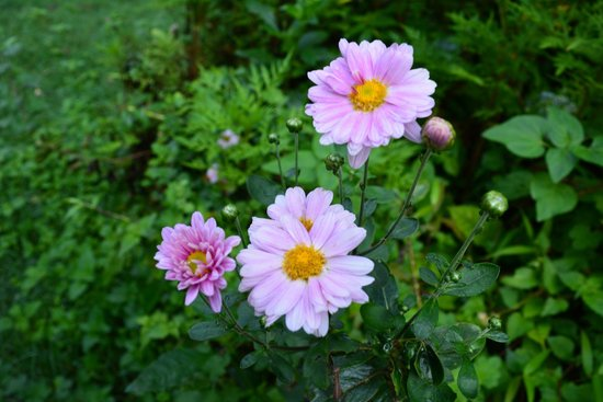 Ranger Woods: lovely chrysanthemum