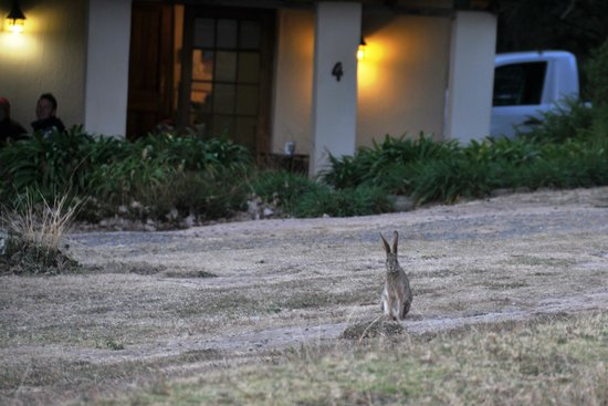 Berghouse and Cottages: Wild hare visiting Thula Thula cottage
