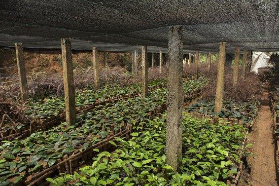 Akuressa, Sri Lanka: Organic Tea Nursery