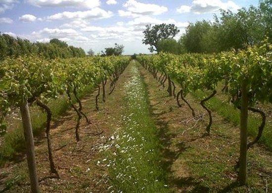 Hartest, UK: Vineyard in Spring
