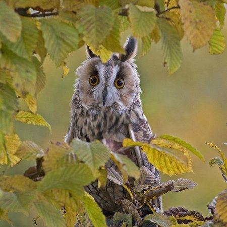 The Barn Owl Centre : Long Eared Owl