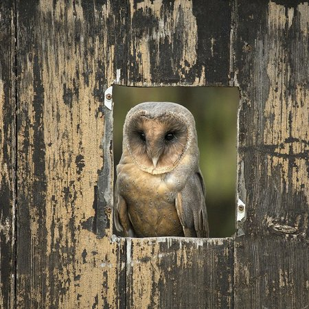 Black faced owl - Picture of The Barn Owl Centre ...