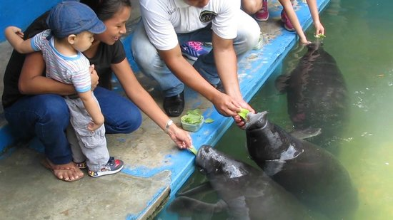 ACOBIA-DWAzoo : Manatees are gentle to feed