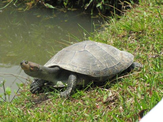 ACOBIA-DWAzoo: Charapa Turtle