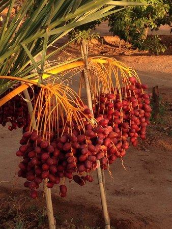 Dar Tasmayoun: Datteln im Garten