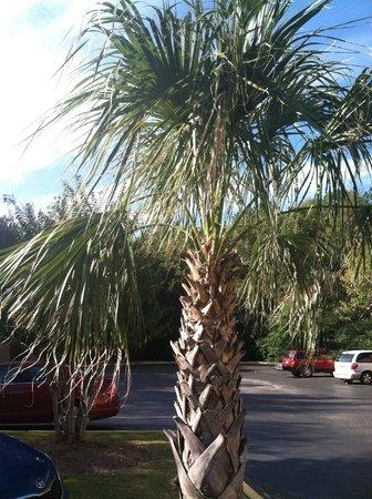 Super 8 Homewood Birmingham Area: Palm tree outside the hotel