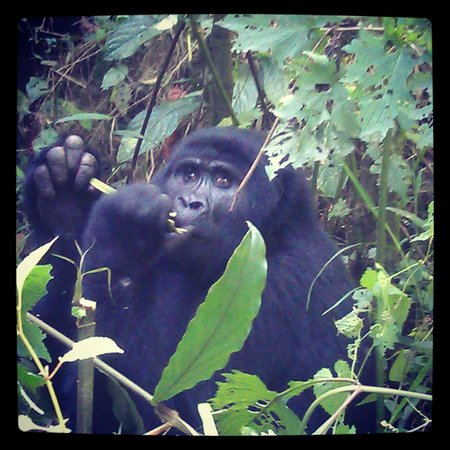 Mutanda Lake Resort: The Gorillas