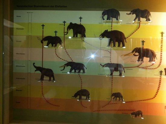 Naturhistorisches Museum: Árvore Genealógica do Elefante