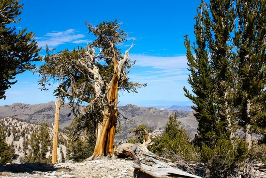 Ancient Bristlecone Pine Forest: One of the oldest trees in the Patriarch Grove.