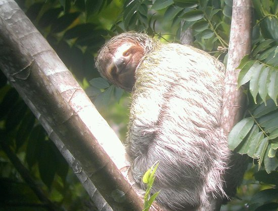 Arenas del Mar Beachfront and Rainforest Resort, Manuel Antonio, Costa Rica: Sloth #2
