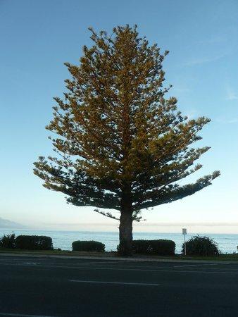 Kaikoura Boutique Hotel : Norfolk Island Pine on the beach