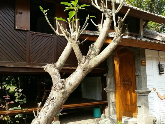 Puri Lumbung Cottages: Frangipani trees in front of Lumbung