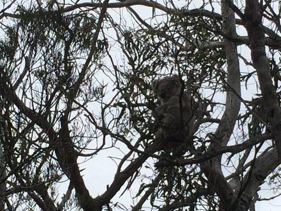 Raymond Island: Koalas in abundance