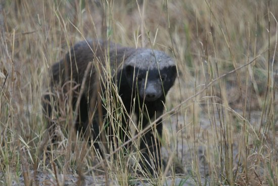 Moremi Wildlife Reserve : Honey badger (rattel)