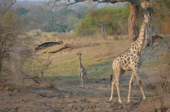 Pioneers Camp: Giraffes on our way into camp