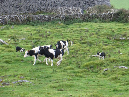 Caherconnell Stone Fort: dog and cattle