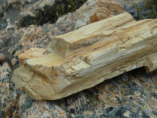 Bosque Petrificado La Leona: Tronco petrificado. Uno de los tantos que se pueden apreciar en la visita