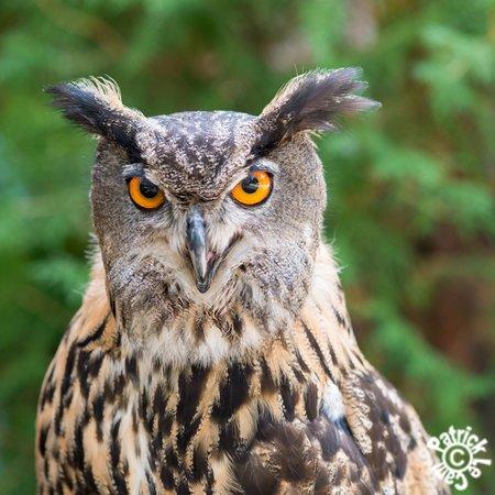 Sokolarski Raptor Centre : Eagle Owl