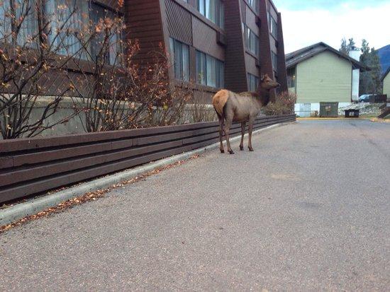 Chateau Jasper: Elk in the hotel grounds